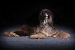 Beautiful Afghan dog begging for food Royalty Free Stock Image