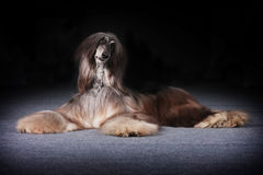 Beautiful Afghan dog begging for food Stock Image