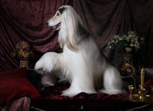 Beautiful Afghan hound dog Stock Photography