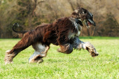 Beautiful Afghan hound dog running Royalty Free Stock Photography