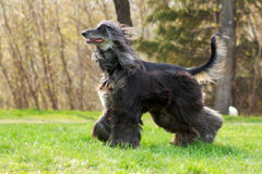 Beautiful Afghan hound dog runs Royalty Free Stock Photography
