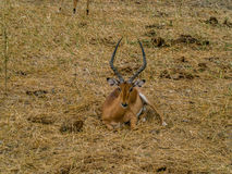 Beautiful African antilope in the savanne of Africa. Beautiful African antilope is eating grass Royalty Free Stock Images