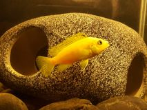 Beautiful African Cichlid stock images
