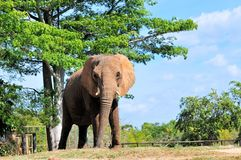 Beautiful African Elephant Royalty Free Stock Photography