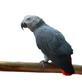 Beautiful African Grey Parrot Royalty Free Stock Image