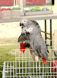 Beautiful African Grey parrots Stock Photography