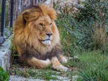 Beautiful african king lion. Picture with beautiful lion on a car Royalty Free Stock Images