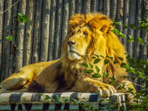 Beautiful african king lion. Picture with beautiful lion on a car Royalty Free Stock Photo