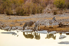 Beautiful african landscape with zebras at sunset Royalty Free Stock Photos