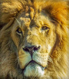 Beautiful african lion face. Picture with beautiful expressive lion face Royalty Free Stock Photo
