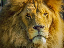 Beautiful african lion face Stock Photos