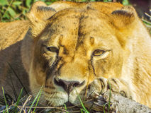 Beautiful african lioness face. Picture with beautiful expressive lioness face royalty free stock image