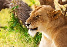 Beautiful African lioness on the nature background royalty free stock images