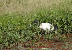 A beautiful African Sacred Ibis feeding in grassland Stock Image