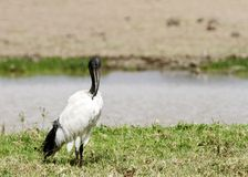 A beautiful African Sacred Ibis near a water hole Stock Photos