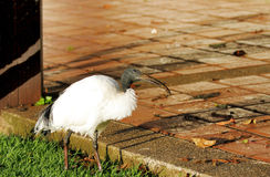 A beautiful African Sacred Ibis roaming near a courtyard Stock Photography