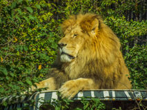Beautiful african sleepy lion. Picture with beautiful sleepy lion on a car Royalty Free Stock Photo
