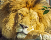 Beautiful african sleepy lion. Picture with beautiful sleepy lion on a car Royalty Free Stock Image