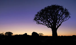 Beautiful african sunset night glow with silhouetted Quiver tree. Stock Image
