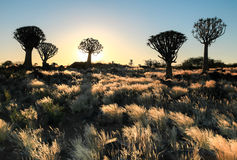 Beautiful african sunset with silhouetted Quiver trees and illuminated grass. Beautiful african sunset with silhouetted quivertrees and illuminated grassland Royalty Free Stock Images