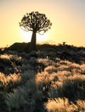 Beautiful african sunset with silhouetted Quiver trees and illuminated grass. Stock Image