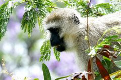 A beautiful African Vervet monkey looking down Stock Images