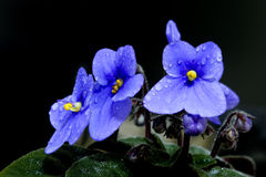 The beautiful African Violet Royalty Free Stock Image