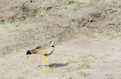 A beautiful African Wattled lapwing Stock Photography
