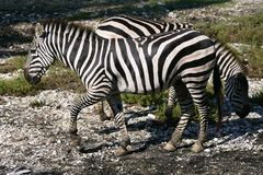 Beautiful african Zebra outdoor Royalty Free Stock Photography