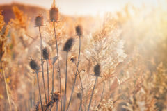 Beautiful afternoon in the field thistle Royalty Free Stock Photo
