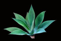 Agave attenuata isolated on black Stock Image