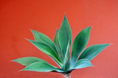 Agave attenuata Stock Images