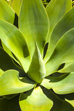 Beautiful agave plant in sunlight Royalty Free Stock Images
