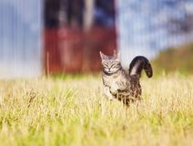 Beautiful agile a tiger-striped cat fun and rapidly neck on. The beautiful agile a tiger-striped cat fun and rapidly neck on meadow highly propelling their stock images