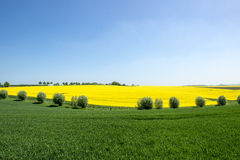 Flowering rape field and willows Royalty Free Stock Images