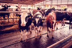 Beautiful agrarian image with cows on a modern livestock farm.  royalty free stock photography