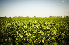 Beautiful agricultural field of green plants royalty free stock photos