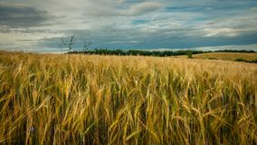 Beautiful agricultural field under a cloudy sky. ears of rye in the foreground. Beautiful agricultural field under a cloudy sky. golden ears of rye in the Stock Images