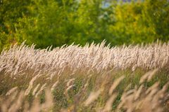 Beautiful agriculture sunset landscape. Ears of golden wheat close up. Rural scene under sunlight. Summer background of ripening royalty free stock image