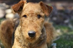 Alert intelligent pet dog in obedience training school. A beautiful Airedale Terrier pet dog, a breed that is known to be extremely intelligent, is here in stock photography