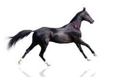 Beautiful akhal-teke horse isolated on white. Beautiful akhal-teke horse running gallop isolated on white stock images