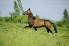 Beautiful akhal-teke horse in the summer field. Beautiful akhal-teke horse in summer field royalty free stock image