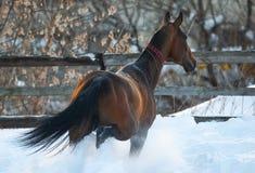 Beautiful akhal-teke stallion stock photo