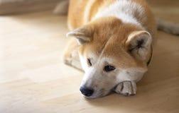 Beautiful akita dog portrait indoors. stock images