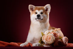 Beautiful Akita Inu puppy Stock Photo