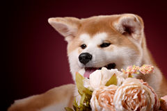 Beautiful Akita Inu puppy Royalty Free Stock Images