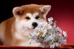 Beautiful Akita Inu puppy Stock Photo