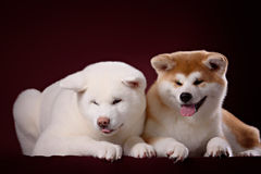 Beautiful Akita Inu puppy and flower Royalty Free Stock Photo