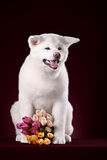 Beautiful Akita Inu puppy and flower Royalty Free Stock Photos