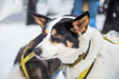 Beautiful alaska husky dogs at the finish line of a sled dog race. Beautiful portrait of a man`s best friend Royalty Free Stock Image